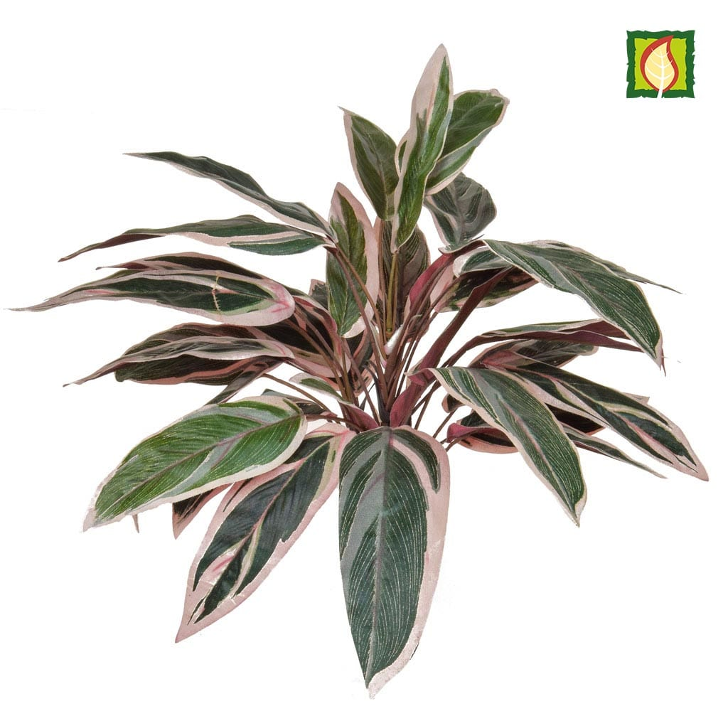 Plants Base Caladium Bush 40cm FR