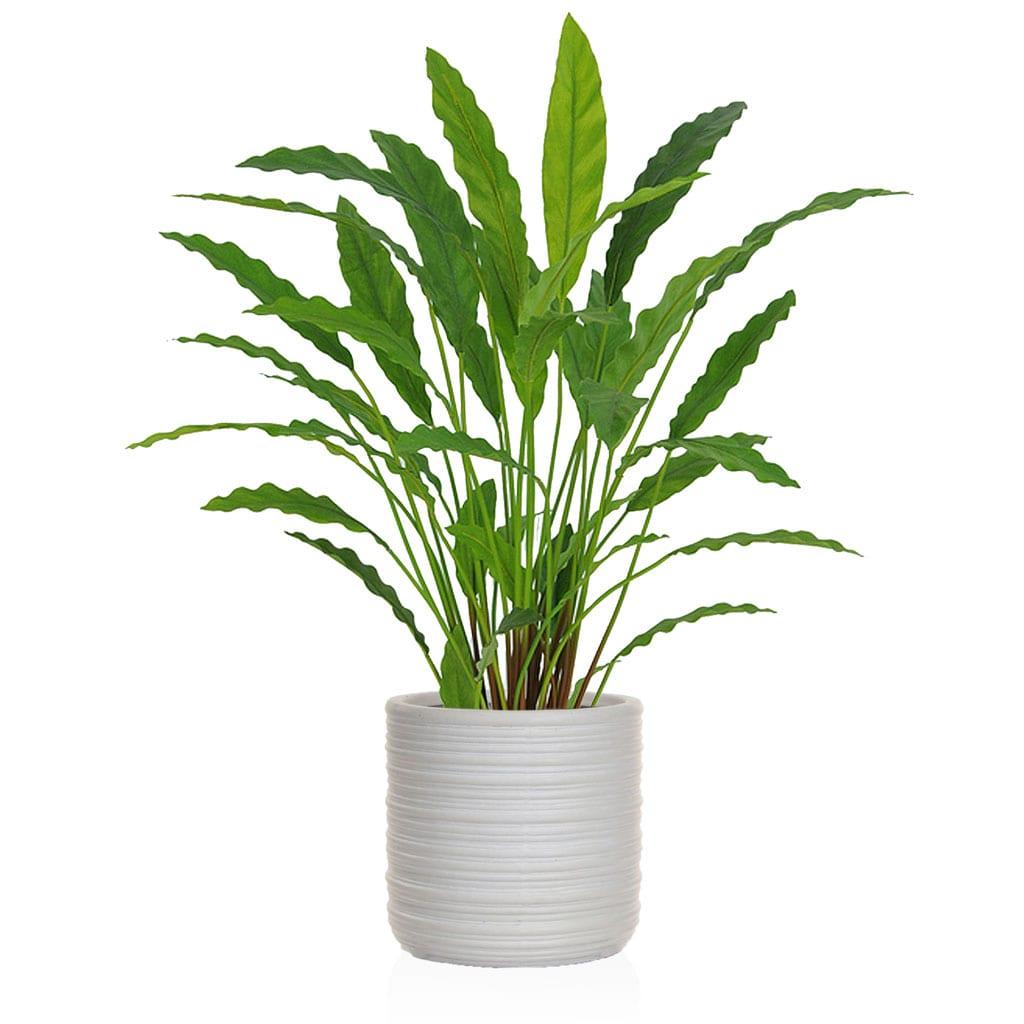 AN-Plants Calathea FR Athens 83cm