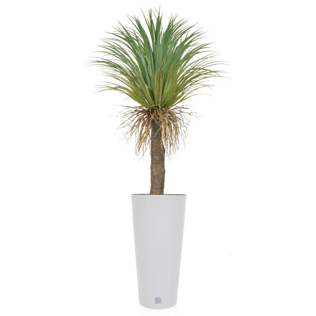 AN-Palms Cycas YF Rato Tubus Pot 185cm