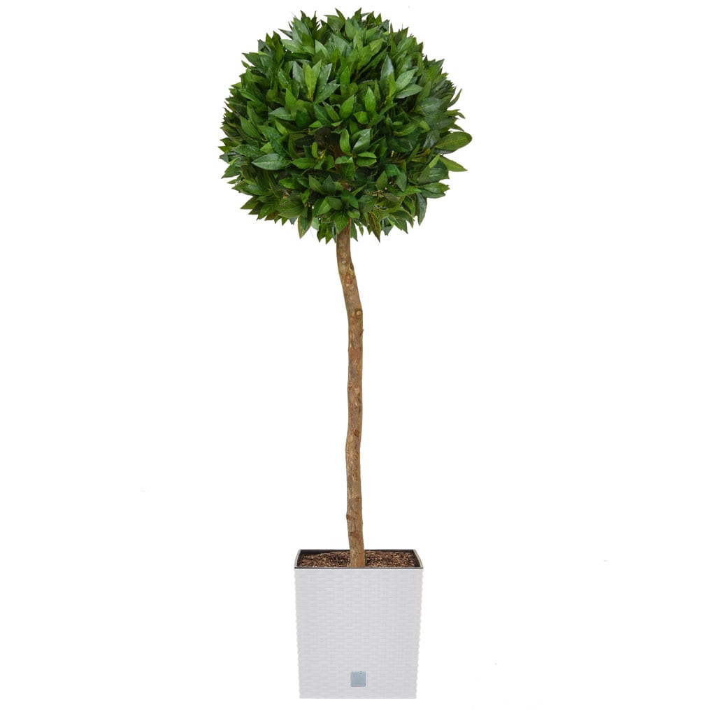 AN-Bay Laurel Ball Tree in White Rato 145cm
