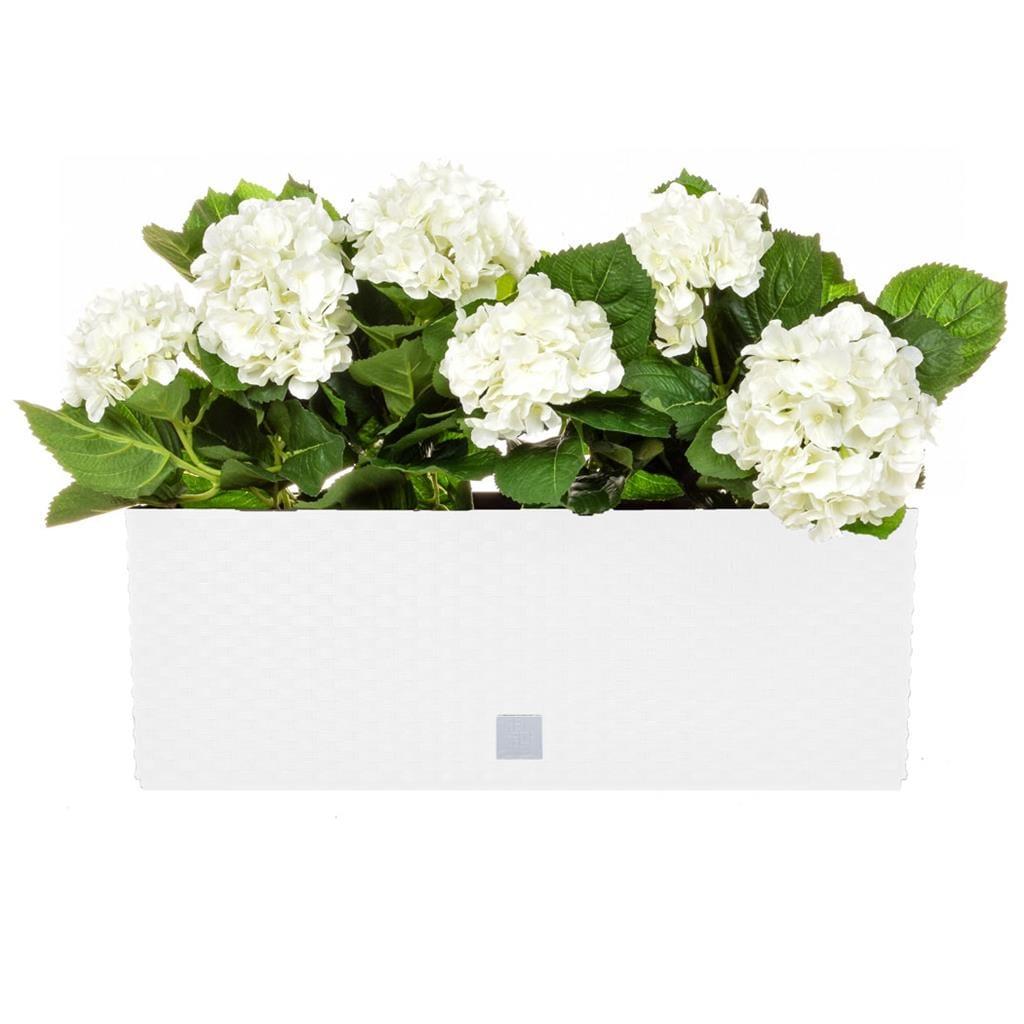 AN-Rato White  Trough White Hydrangea 50cm