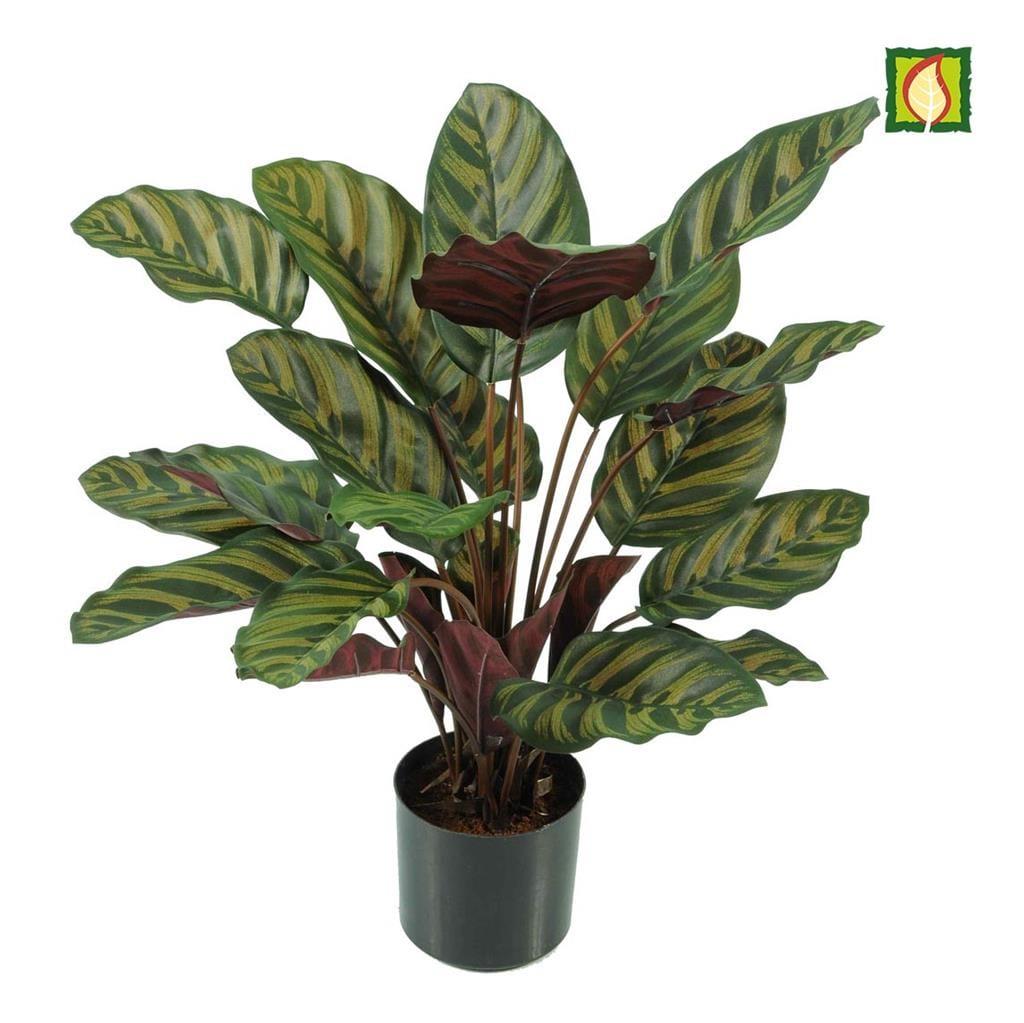 Plants Base Potted Calathea Makoyana 58cm FR