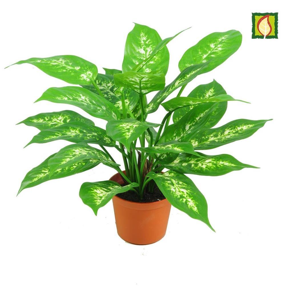 Plants Base Potted Dieffenbachia 37cm FR
