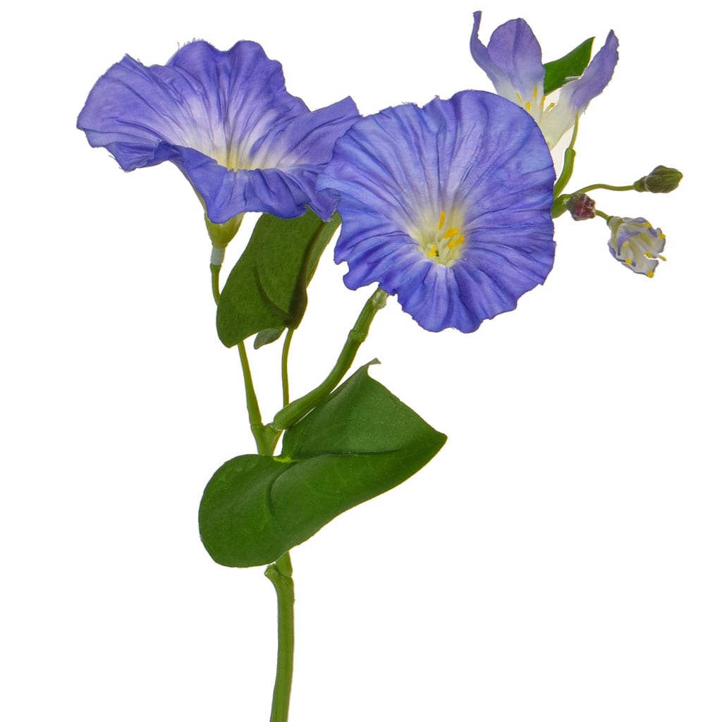 Plants Flowering M/Glory Blue GS 25cm