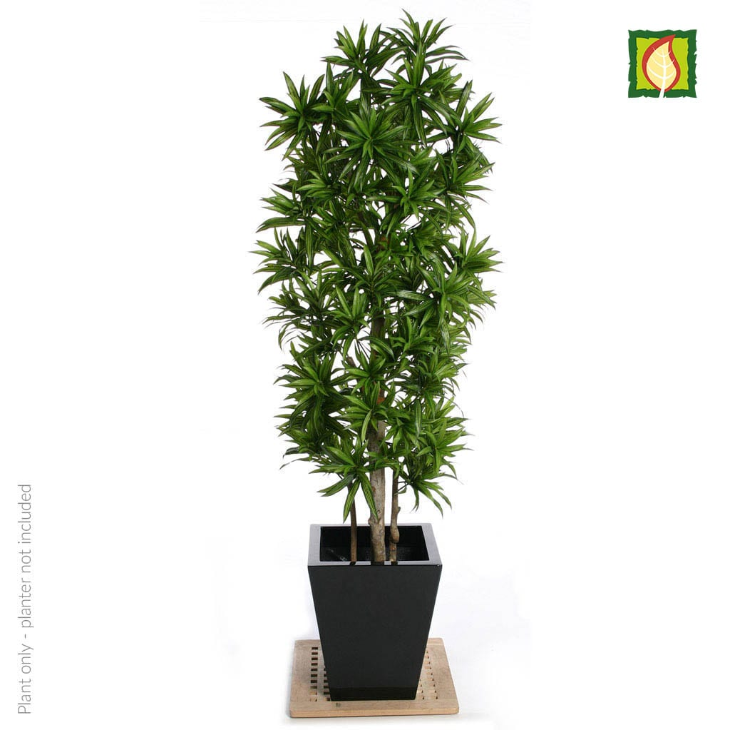 NTT Dracaena Song of Jamaica 180cm FR