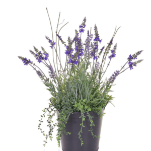LAVENDER IN METAL POT
